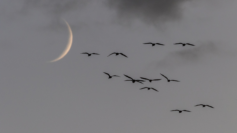 Moon Leading Flock by Stino Scaletta